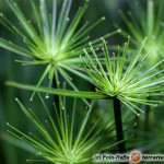 Cyperus – cibora