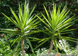 Yucca elephantipes – jukka gwatemalska