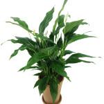 Spatyphyllum – skrzydłokwiat