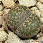Lithops – żywy kamień