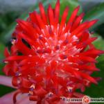 Billbergia – bilbergia