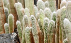 Cleistocactus – kleistokaktus