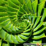 Aloe – aloes