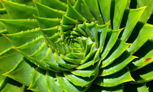 Aloe – aloes