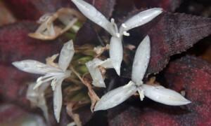 Cryptanthus – skrytokwiat