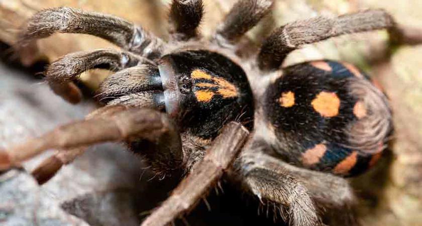 Hapalopus formosus