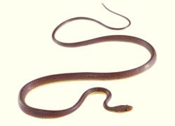 Nowy gatunek węża Synophis zaheri
