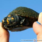 Chcę kupić żółwia!