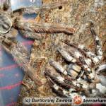 Poecilotheria vittata – raport rozmnożeniowy 2