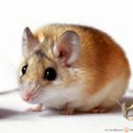 Acomys cahirinus – mysz kolczasta*