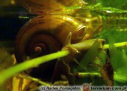 Pomacea canaliculata – ampularia*