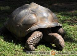 Geochelone gigantea – żółw olbrzymi