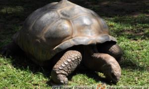 Geochelone gigantea - żółw olbrzymi