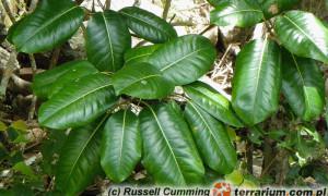 Ficus – fikus, figowiec