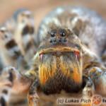 Lycosa singoriensis – tarantula ukraińska