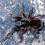 Bistriopelma (gen. nov.) – Nowy rodzaj