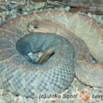 Crotalus durissus – grzechotnik pustynny