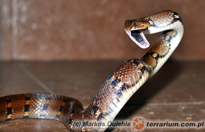 Coelognathus helena - wąż Heleny