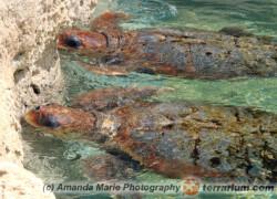 Caretta caretta – żółw karetta