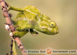 Chamaeleo chamaeleon – kameleon pospolity