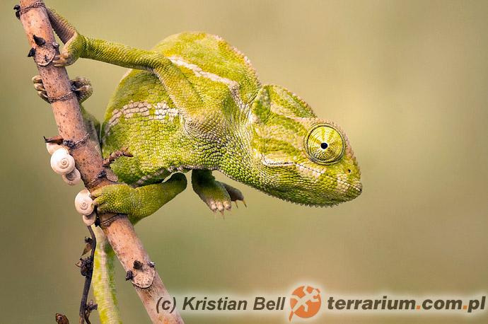 Chamaeleo chamaeleon - kameleon pospolity