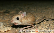 Dipodidae – skoczkowate