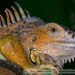 Stosunek wapnia do fosforu w diecie legwana zielonego (Iguana iguana)