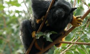 Małpy jako źródło chorób dla ludzi
