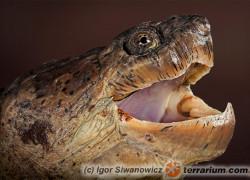 Chelydra serpentina – żółw jaszczurowaty