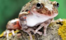 Kassina maculata – afrykańska żaba biegająca*