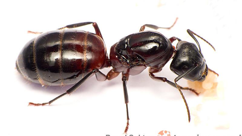 Camponotus ligniperdus – gmachówka drzewotoczna