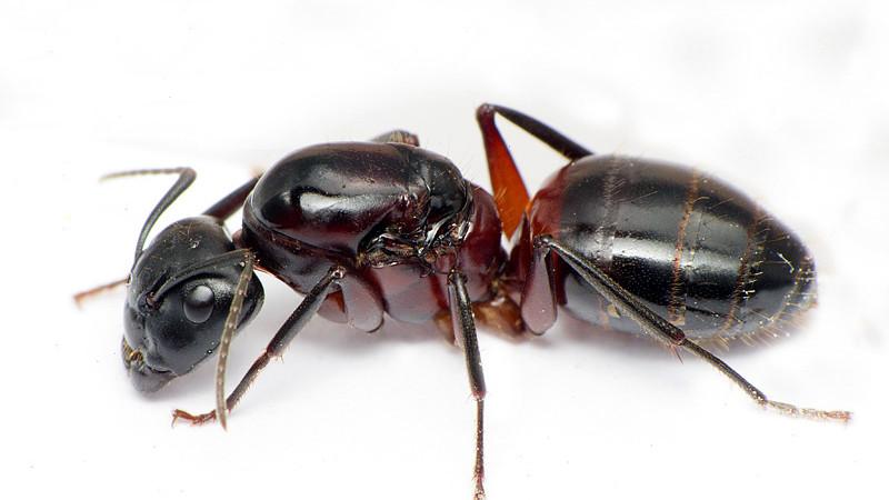 Camponotus herculeanus – gmachówka cieśla, gmachówka koniczek