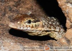 Varanus timorensis – waran timorski