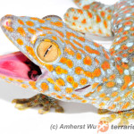 Oporne na antybiotyki bakterie gekonów toke