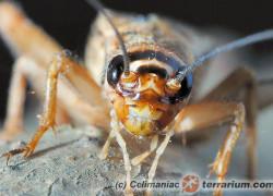 Gryllidae – świerszcze