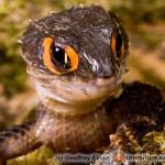 Tribolonotus gracilis – scynk krokodylowy
