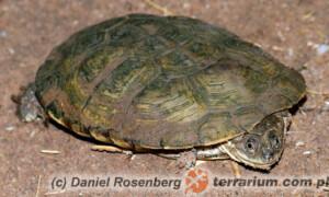 Pelomedusa subrufa – pelomeduza afrykańska
