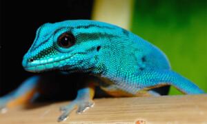 Lygodactylus williamsi – gekon Williamsa