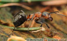 Formica rufa – mrówka rudnica