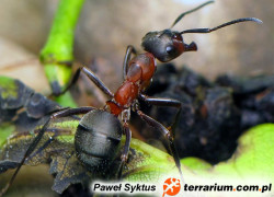 Formica polyctena – mrówka ćmawa