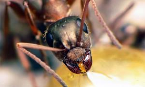 Formica cunicularia – pierwomrówka podziemna