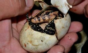 Varanus salvator – waran leśny – raport rozmnożeniowy
