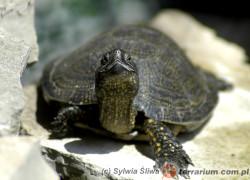Emys orbicularis – żółw błotny