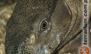 Varanus albigularis – waran białogardły