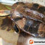 Platemys platycephala – wklęsłopancerzówka czerwonogłowa