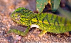 Furcifer lateralis – kameleon wzorzysty