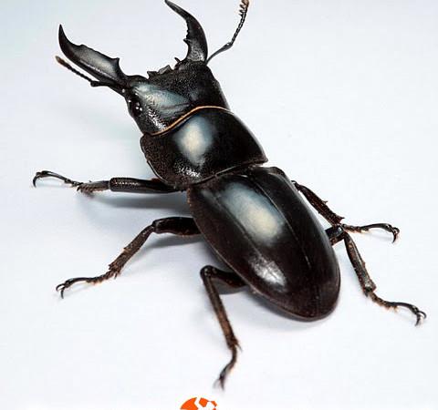 Dorcus titanus sika