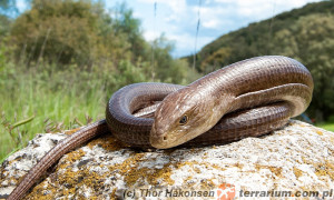 Pseudopus apodus – żółtopuzik bałkański