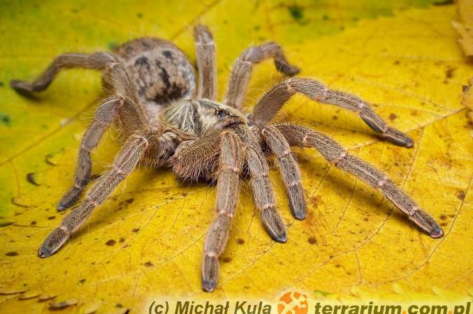 Pterinochilus spp.