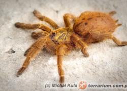 Pterinochilus murinus – ptasznik słoneczny
